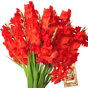 Expression Of Love - 12 Red Gladiolas + Card