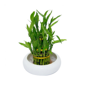 Lucky Bamboo - 3 Layer Luck Plant and Card