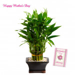 Good Luck - 3 Layer Lucky Bamboo Plant and Card